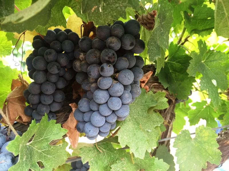 Виноделие, профи-интервью